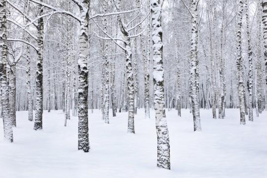 Papier-peint adhésif photo d'une forêt enneigée