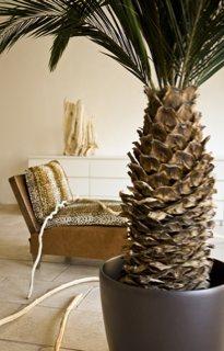 palmier stabilisé Meamea